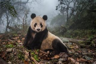 Ye Ye, a 16-year-old giant panda, lounges in a massive wild enclosure at a conservation centre in Wolong Nature Reserve, China.