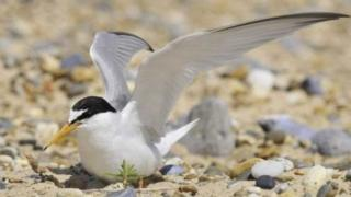 Conservationists are concerned about the declining number of little terns returning to Norfolk