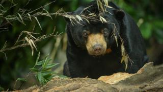 Sun bear (Image pleasantness of Chester Zoo)