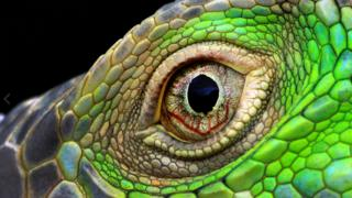 Close-up of an Iguana's eye by Muhammad Roem