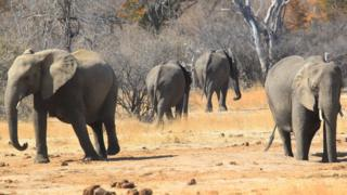 Elephants roam freely near the railway track that Cecil the lion crossed when he was lured onto a farm in an alleged illegal hunt in Hwange about 700 kilometres south west of Harare, Zimbabwe, Thursday, Aug. 6, 2015.