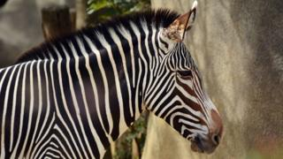 A Grevy's zebra (Equus grevyi) in Paris zoo, Apr 2015
