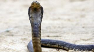 An Egyptian cobra