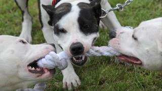 Dogs chewing at rope