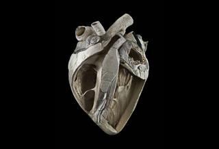 Cow heart - Michael Frank, Royal Veterinary College
