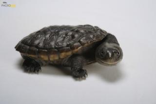Reimann's snake-necked turtle (Chelodina reimanni) Atlanta Zoo, Atlanta