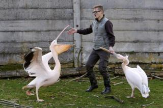 A safari zoo keeper catches pelicans