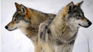 Two wolves play in the snow