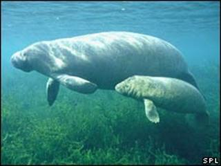 Manatee mother and calf