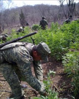 Mexican government forces remove marijuana plants