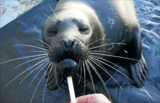 A trained seal at the Marine Science Centre in Germany (W Hanke)