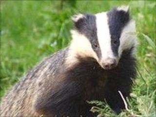 Badger (generic)