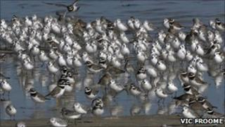 Waders on Guernsey