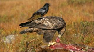Golden eagle (Pic courtesy of RSPB)