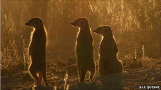 Three meerkats (Image: Stephen Le Quesne)