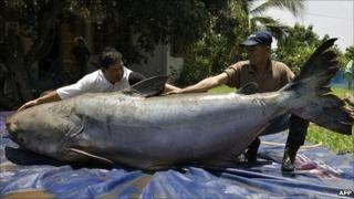 Fishermen with a giant Mekong catfish in Chiang Khong, Thailand (File image: WWF)