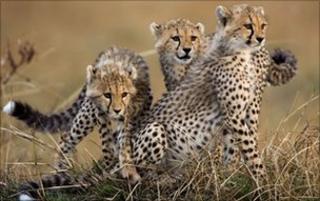 Generic pic of cheetah in Kenya