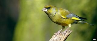 Greenfinch (Image: Science Photo Library)
