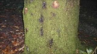 An infected oak trunk (Image: Forestry Commission)
