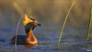 Slavonian grebe. Image: RSPB