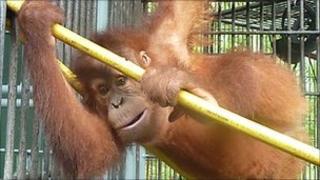 Orang-utan Dennis playing on the hose