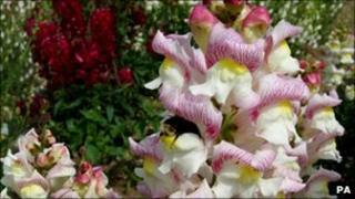 A bumblebee extracting nectar and pollen from a snapdragon