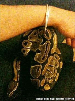 Python caught between bangle and wrist