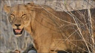A lion in southern Africa (Archive shot November 2006)