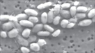 Halomonadaceae bacteria