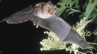 The lesser horseshoe bat (picture: the Vincent Wildlife Trust)