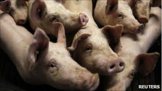 Pigs in their piggery in Bockel, northern Germany, 14 January