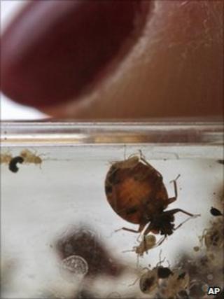 Bedbugs seen next to a fingertip