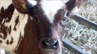 A baby Ayrshire cow