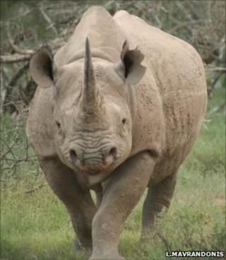 Black rhino (Image: Lucky Mavrandonis/Black Rhino Monitoring Project)
