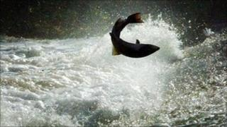 Salmon leaping up a river
