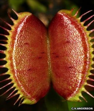 Venus flytrap (Image: Christopher V Anderson)