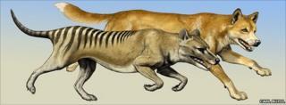 Thylacine (foreground) with dingo (background)