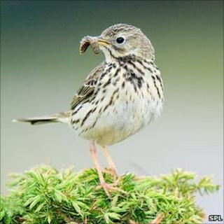 Adult meadow pipit