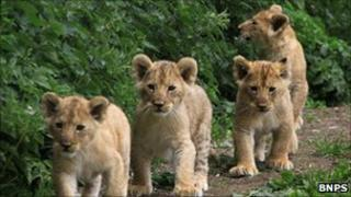 Lion cubs at Longleat