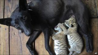 Dog nurses two liger cubs in Weihai, China (19 May 2011)