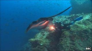 Mike deGruy with Marbled Rays off the Cocos Islands 2002