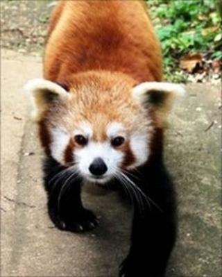 Bristol Zoo red panda