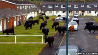 Rampaging cows
