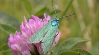 A forester moth. By Dave Wainwright from Butterfly Conservation