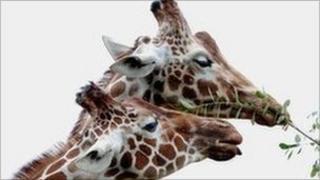 Uno (left) with female giraffe Ina