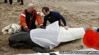 Rescuers attempting to save pilot whales at Kyle of Durness, Sutherland