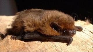 Pipistrelle bat by the Oxfordshire Bat Group