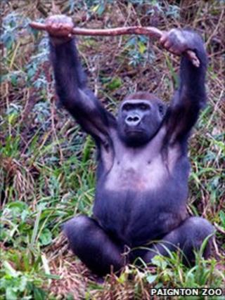 Gorilla with stick
