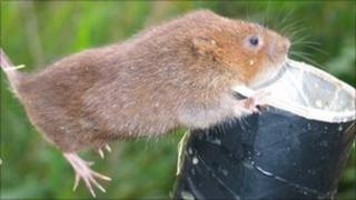 A water vole about to be released