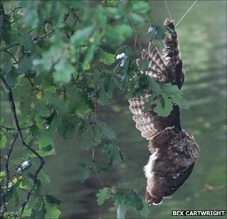 Tawny owl trapped in tree at Betws-y-Coed, Conw